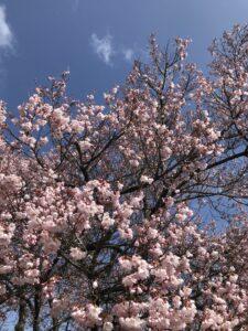 高遠さくらホテルの桜②
