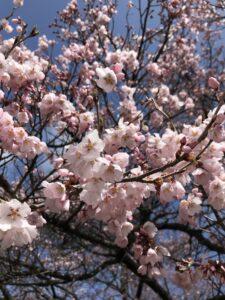 高遠さくらホテルの桜➀