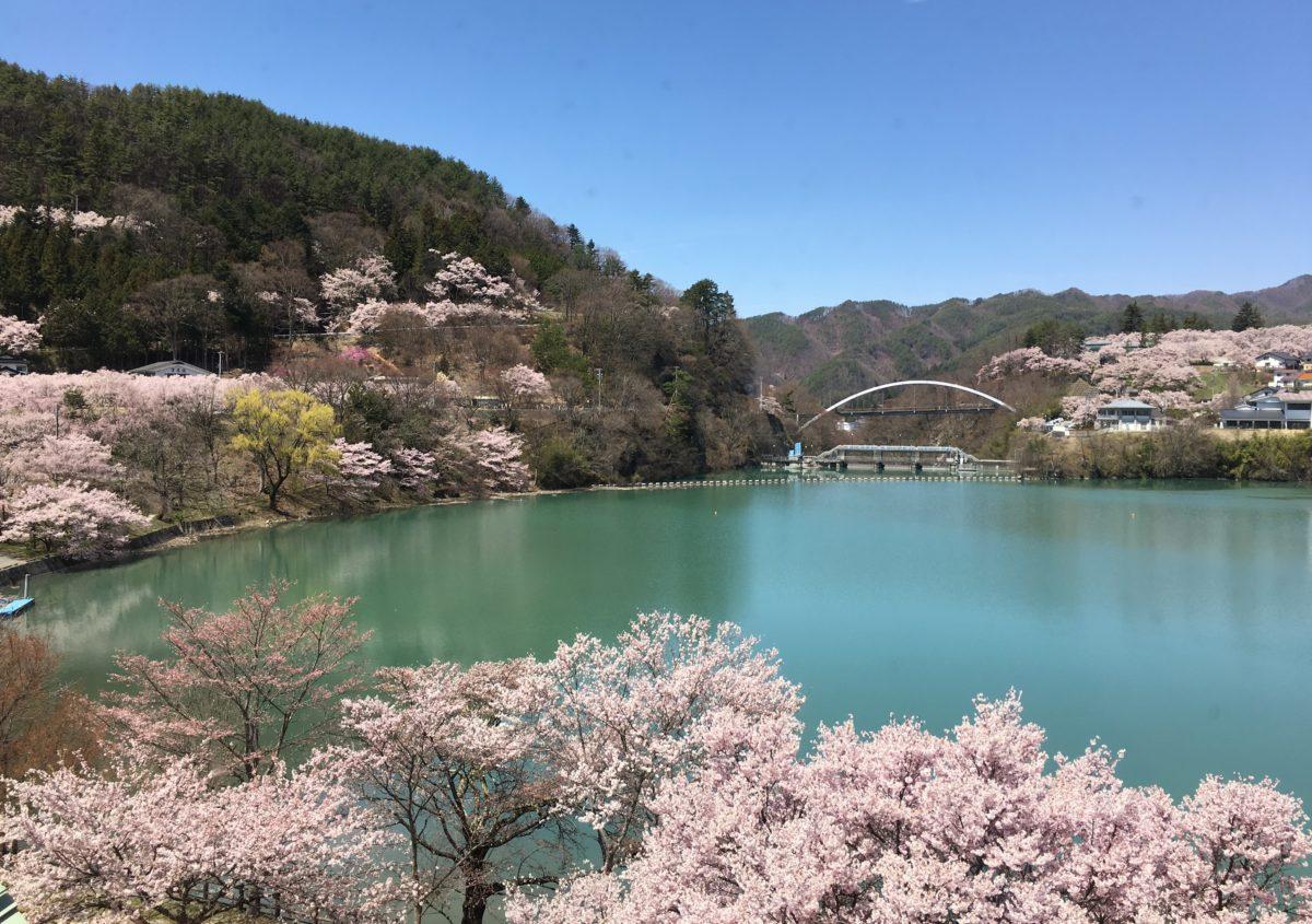 天下第一といわれる「高遠の桜」満開です!