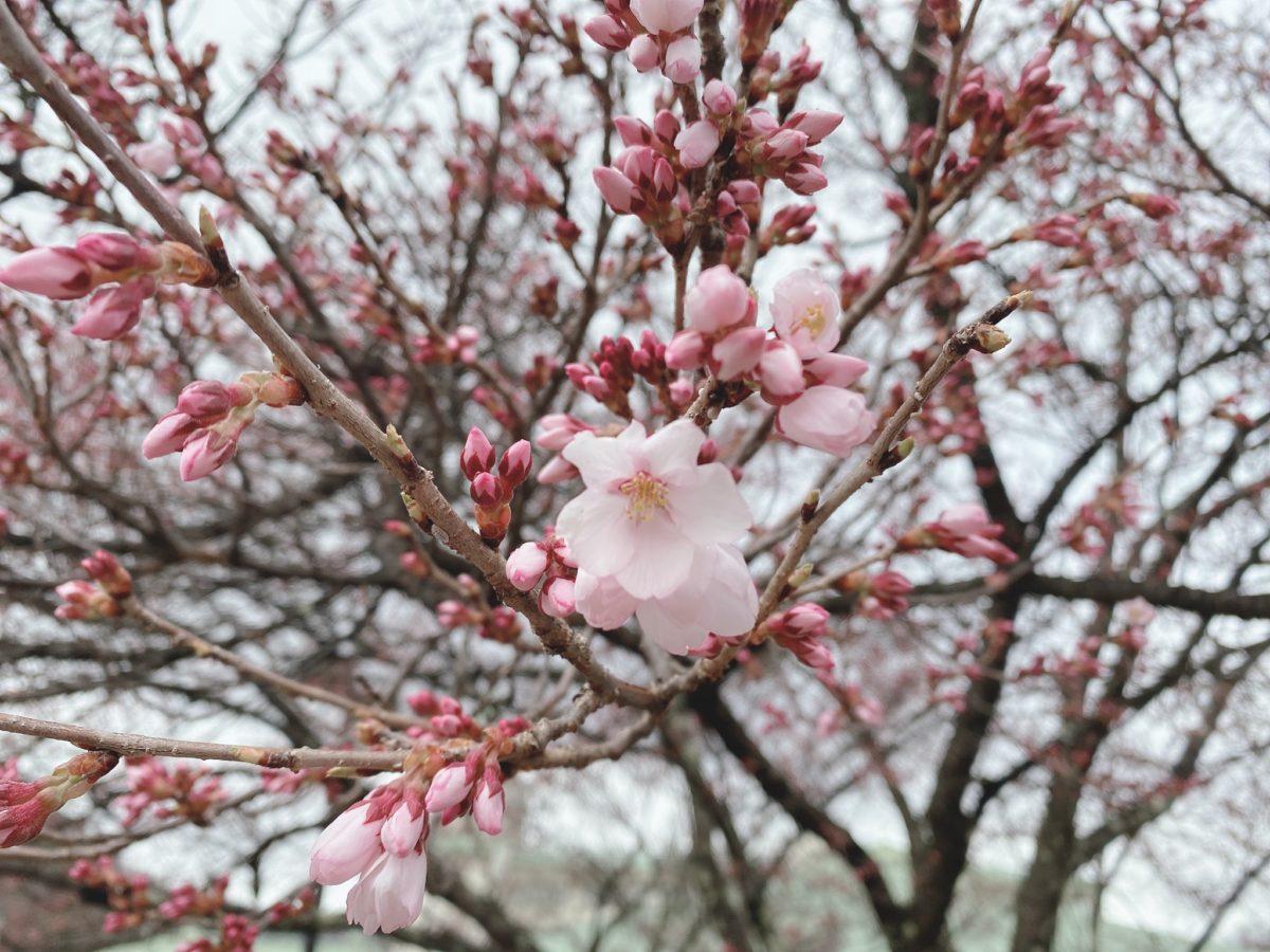 高遠城址公園の桜の開花状況とお花見自粛について