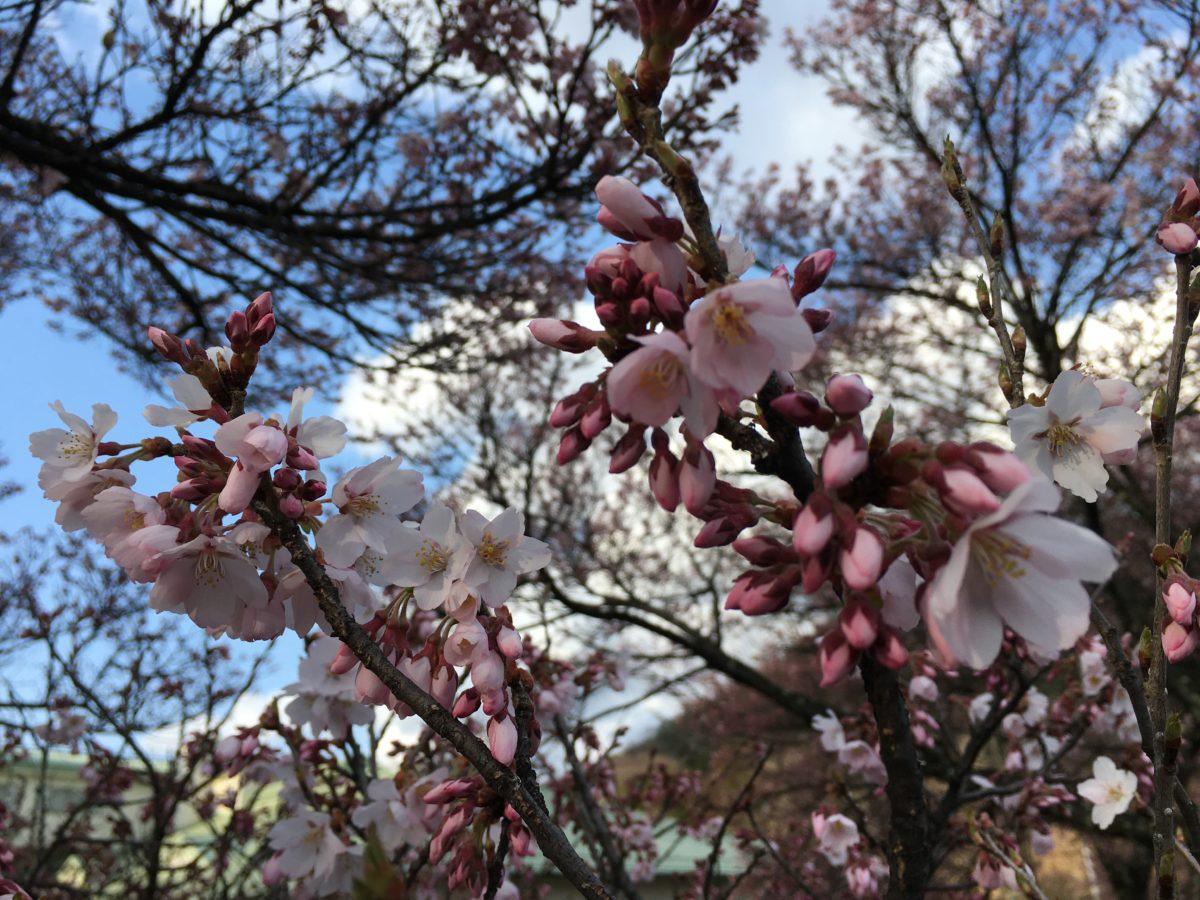 桜🌸開花情報④