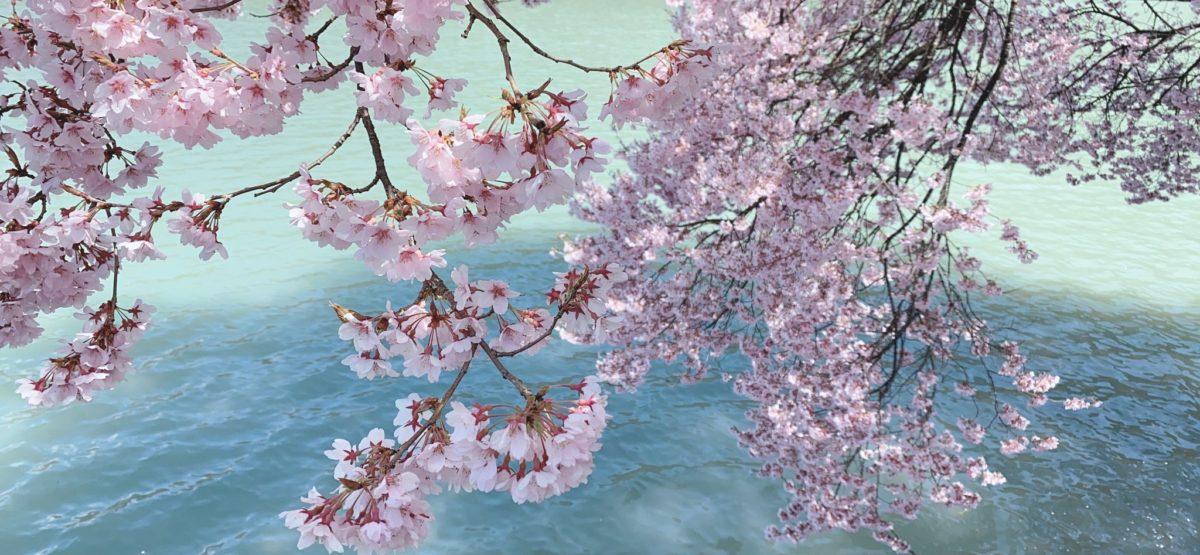 桜🌸開花情報⑥