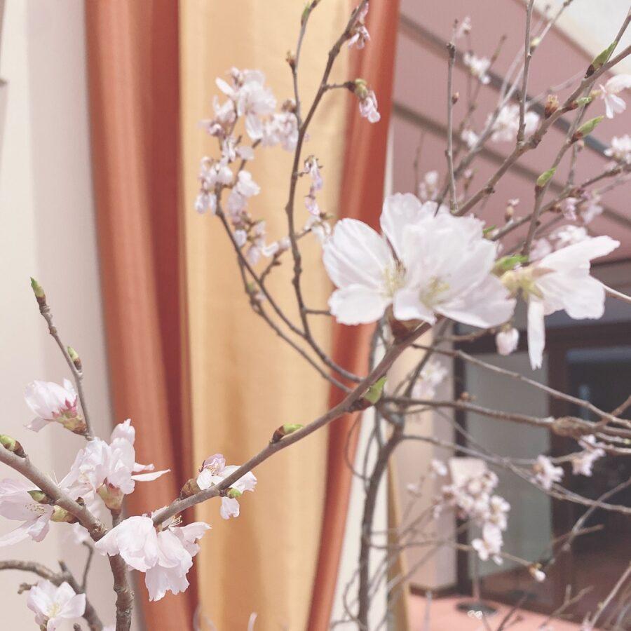 お雛様🎎と桜🌸