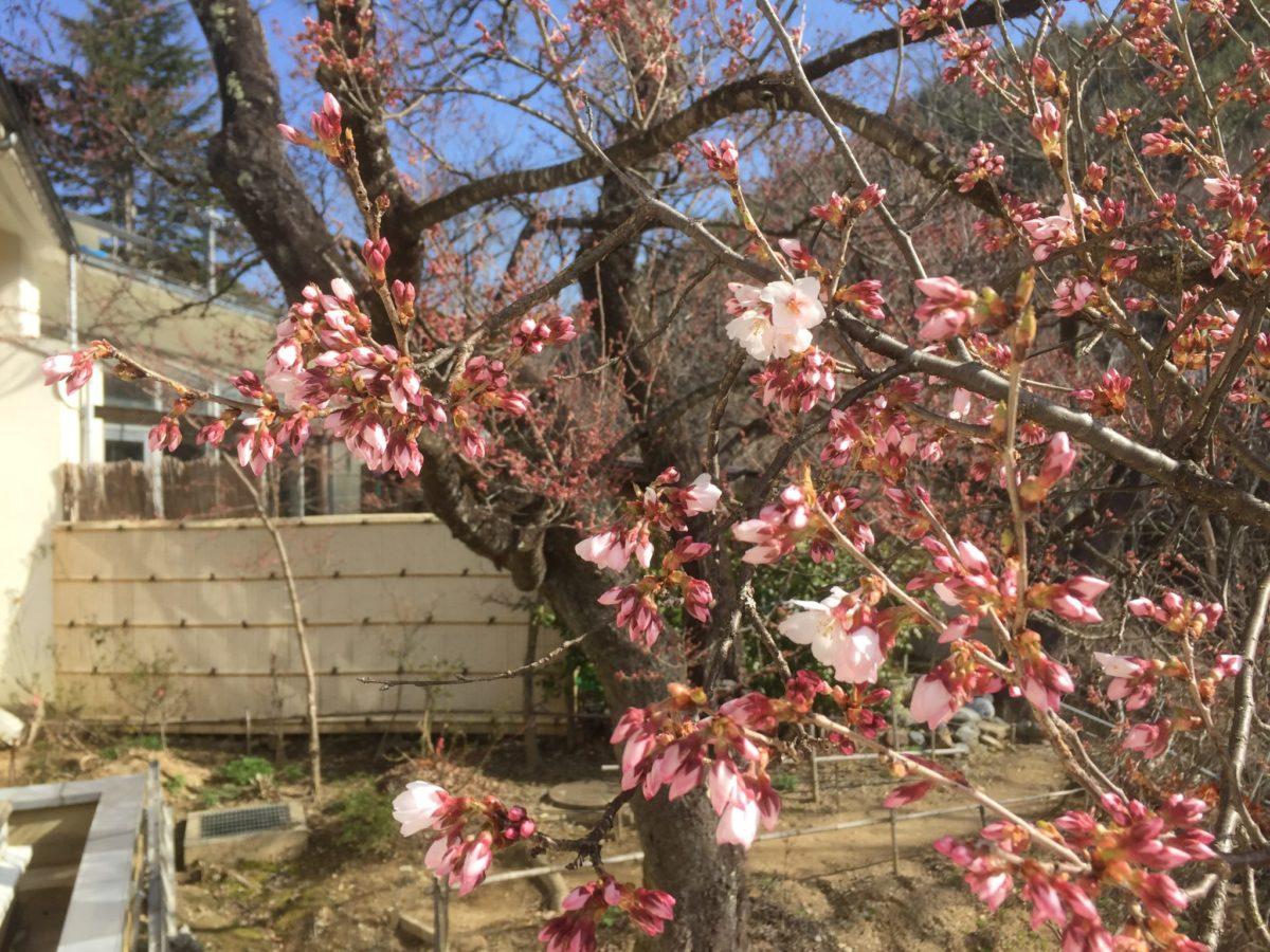 桜が咲き始めました!
