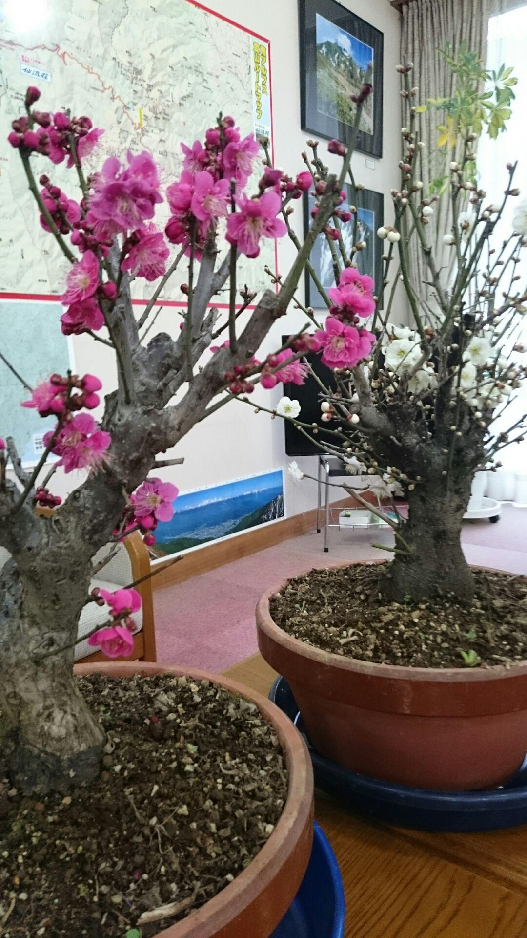 🌺館内の≪梅≫が咲き始めました🌺