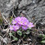 南アルプス林道で咲き始めました🥀